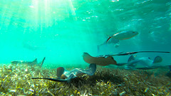 Beautiful Belize (jon.scrimgeour) Tags: blue fish reflection coral shark paradise ray underwater stingray turtle belize diving freediving snorkling hero sharks fin reef tortuga cod snapper snorkle nurseshark baracuda barrierreef gopro frensy