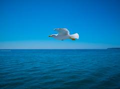 leveza (elzauer) Tags: italy bird campania it procida