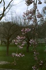 BBG cherry blossom (Yun-Chen Jenny) Tags: nyc newyorkcity brooklyn spring cherryblossom botanicalgarden