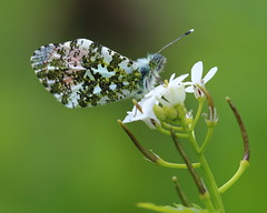 (bilska.anna) Tags: macro nature canon butterfly insect photography insects macrophotography orangetip uknature macroinsects canonphotography flickrnature macroporn flickrmacro natureuk flickrwildlife anthochariscardamine ukbutterfly butterflyuk