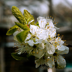 _MGL3756 Blommeblomst - Plum-flower from our Garden (Thanks for visit Soes' photo from the lovely natur) Tags: flowers nature blomster plumflower fromourgarden frahaven solveigsterschrder blommeblomst