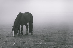 Horse in The Mist (craigmdennis) Tags: morning horse mist nature field animals blackwhite