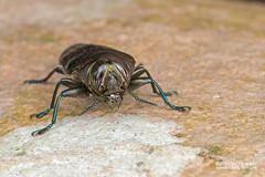 Jewel beetle (Belionota prasina) - DSC_1535 (nickybay) Tags: macro singapore beetle jewel buprestidae prasina chestnutavenue belionota