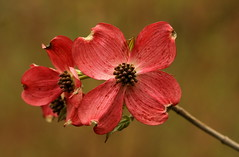 Dogwood (Diane Marshman) Tags: flowers red flower tree nature garden landscape petals spring pennsylvania blossoms pa flowering dogwood blooms northeast blooming