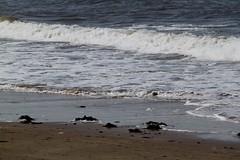 North Berwick, Scotland (Taylor Mc) Tags: uk sea birds rock coast harbor scotland edinburgh unitedkingdom bass harbour north forth migratory migration northberwick seabird gannett firthofforth bassrock scottishseabirdcentre