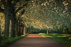Park Poetry (preze) Tags: park berlin evening abend quiet outdoor frieden bume weg blten stille freundlich abendlicht ruhe britzergarten heiter baumblten canoneosm3 efm55200 britzgarden