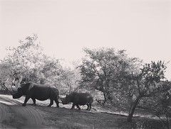 IMG_20160502_153553 (willow dower) Tags: africa blackandwhite monochrome southafrica wildlife rhinocerous bigfive big5 whiterhino