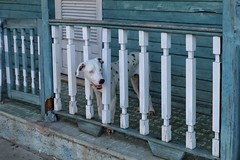 on patrol (s@ssyl@ssy) Tags: blue dog fence notmine balcony cuba guard porch railing pooch varadero crazyeyes patrol bannister