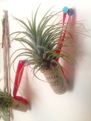 Tillandsia ionantha (maurasaporito2) Tags: plants nature ecology tillandsia ionantha epiphyte uncw airplants image4 tillandsiaionantha su2016 bio366 uncweteal
