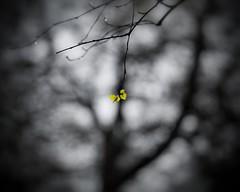 . . . solitare four (orangecapri) Tags: sliderssunday hss selectivecolour bokeh trees orangecapri blur blurred leaf dof