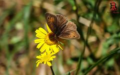 01676 (Tres-R) Tags: espaa naturaleza nature animals butterfly spain galicia animales mariposa pontevedra riasbaixas airelibre morrazo tresr rodolforamallo