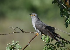 Cuco / Eurasian Cuckoo (anacm.silva) Tags: wild naturaleza bird portugal nature birds wildlife natureza ngc aves ave cuco gers cuculuscanorus tourm parquenacionaldapenedagers penedagers eurasiancuckoo penedagersnationalpark