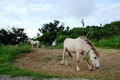 DSCF9344 (ababh) Tags: morning horse okinawa    yaeyama  taketomiisland