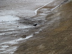 Lonely crow (David_Rudeforth) Tags: sea bird beach water coast seaside pools