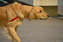 A Young Golden Retriever (swong95765) Tags: dog beautiful animal golden energy young canine retriever pulling spry