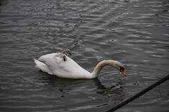 _MG_6879 (Mitya Adamsky) Tags: boat brentford swan cygnets