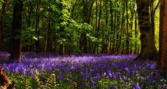 follow the light (gian_tg) Tags: blue trees light green bluebells woods purple followthelight 7dwf