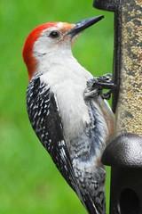 8379e2  P900  snacking red-bellied woodpecker (jjjj56cp) Tags: portrait birds woodpecker details beak feathers aves p900 redbelliedwoodpecker jennypansing