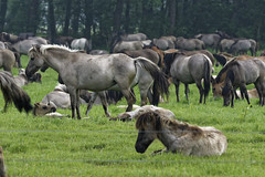 Mustangs and Wild Horses - 2016-0035_Web (berni.radke) Tags: horse pony mustang pferd nordrheinwestfalen colt wildhorse foal fohlen croy herde dlmen feralhorses wildpferdebahn merfelderbruch merfeld przewalskipferd wildpferd dlmenerwildpferd equusferus wildpferdefang dlmenerpferd dlmenpony herzogvoncroy wildhorsetrack