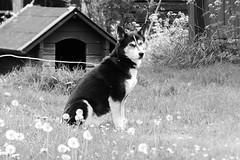 Siberian Husky (evisdotter) Tags: portrait bw dog pet hund siberianhusky sooc