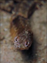 Tiger Pipefish (Filicampus tigris) (Brian Mayes) Tags: canon underwater australia scuba diving pipeline nelsonbay pipefish 1734 g16 brianmayes filicampustigris tigerpipefish canong16