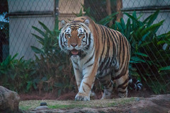 IMG_2666 (firecloak) Tags: mike cat tiger lsu vi siberianbengal