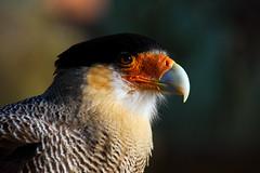 Carancho (fotos sin sentido, solo fotos) Tags: aves torresdelpaine carancho carroñero