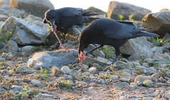 Juvenile crow learning how to feed. (The Rustic Frog) Tags: uk england black rabbit leaves animal breakfast dead dawn rocks adult feeding body stones feathers reservoir carrion crows juvenile carcass warwickshire guts innards draycote