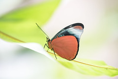 Panacea regina (fabriciodo) Tags: macro peru butterfly insect lepidoptera papillon borboleta mariposa schmetterlinge farfalle nymphalidae lpidoptre sigma150 panacearegina nikond750