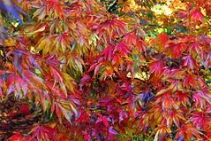maple leaves (charlottehbest) Tags: november autumn trees colours arboretum gloucestershire autumncolours westonbirt autumnal westonbirtarboretum 2015 charlottehbest