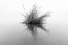 Half a fish (ajecaldwell11) Tags: light newzealand sky bw mist reflection water fog clouds sunrise reeds dawn mirror fineart ankh hawkesbay caldwell laketutira