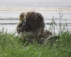 IMG_5006 (rachelaughs) Tags: baby bird birds geese wings babies feathers goose grooming goslings gosling waterfowl babybird babyanimal babybirds babyanimals babygoose babygeese