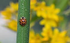 Rugiada mattutina ((Raffaella@)) Tags: light macro nature yellow garden bokeh bubbles giallo dew ladybug rugiada prato luce coccinella