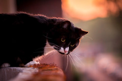 Timon! (Fardo.D) Tags: sunset cat chat kitty tuxedo gato neko katze karel