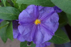 Solanum Rantonnetii (Gartenzauber) Tags: doublefantasy floralfantasy