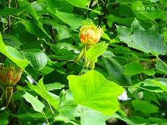 Tulpenbaum (Liriodendron tulipifera) - Blte Juni 2016 (warata) Tags: germany bayern deutschland pflanze liriodendrontulipifera blume blte baum allee schwaben baumblte 2016 tulpenbaum swabia sddeutschland memmingen southerngermany multicoloredflowers naturdenkmal oberschwaben upperswabia ferthofen schwbischesoberland