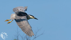 Black-crowned Night Heron - 11 (RGL_Photography) Tags: heron birds us newjersey unitedstates wildlife birdsinflight oceancity jerseyshore ornithology mothernature rookery bif blackcrownednightheron nycticoraxnycticorax wadingbirds capemaycounty migratorybirds wildlifephotography nikond500 greateggharborbay littlefingerchannel staintonmemorialcauseway nikonafs200500mmf56eedvr