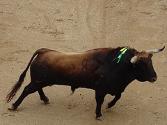 Toro bravo (franmunozr) Tags: rey albero corrida cuernos toro monumental picador torero plazadetoros ganaderia cardeno coso lasventas divisa ruedo banderilla torobravo