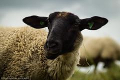Nature 29-06-'16 (Diverse-Media.nl) Tags: netherlands field animal animals media sheep diverse sony nederland meadow tamron schapen medow schaap a58 dmani tamronlens sonyalpha sonylens sonya58 diversemedia diversemedianl
