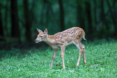 IMG_8926a (rob.holtz) Tags: whitetail