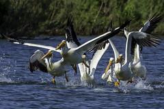 Time to Go- (peter57117) Tags: bird birds americanwhitepelican pelecanus erythrorhynchos winnipeg