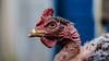 Chicken neck naked (Lelisvaldo A. Gomes) Tags: pelado photos naked fotografia macro lelisvaldo pescoço vidaselvagem photography neck chicken bird jholmundo ave galinha praiagrande sãopaulo brasil br