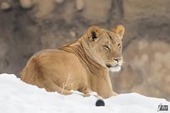 Lion (cebuphotographer) Tags: utah hoglezoo nikoncapturenx nikond300 nikon200500mmf56