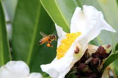 Yum Yummy Honey (StaceyA42) Tags: flower tree bee collection pollen gordonia