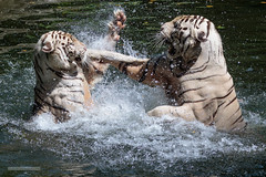 Play fight (syphrix photography) Tags: syphrix singapore zoo white tiger wildlife captivity rest new star attraction outdoor creamy fur animal wild nature chinchilla albinistic lack pheomelanin pigment bengal panthera tigris endangered threatened species reserve 2016 play fight