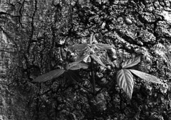 """Sve-moi..."" (Ninoo Vita) Tags: white black tree misty photography lights lightsandshadows shadows gloomy overcast ishootfilm dim schwarzweiss somber murky schwarz dingy drab  branche darkened shadowy pentaxmx weis nocolor sve adox monochromia epsonv750 inspirationalphotography blackwhitepassionaward emozioniinbiancoeneroemotionsinblackandwhite yourperspectiveandcreative pentaxsmcmmacro14100mm adoxsilvermax100asa"