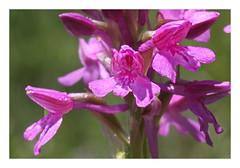 photo 2 (luka116) Tags: fleur suisse mai branson valais 2016 anacamptis hybride anacamptispyramidalis anacamptismorio orchidaces anacampispyramidalis follateres lesfollateres hybrideanacamptis anacamptishybride