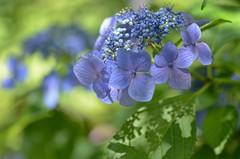 hydrangea in the shade (snowshoe hare*) Tags: flowers flower kyoto  hydrangea     dsc0596 taizointemple myoshinjitemple