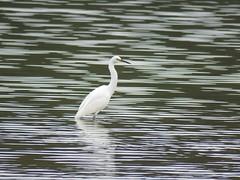 Egretta garzetta 2 (barryaceae) Tags: new lake bird birds wales south sandbar australia aves smiths australianbirds australianbird ausbird ausbirds