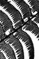 Black and white fern (gwiwer) Tags: bw fern silhouette backlight sw farn azores treefern gegenlicht furnas aores baumfarn somiguel parqueterranostra azoren schwarzweis terranostrapark